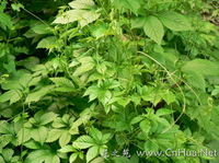 more images of Gynostemma Pentaphyllum Extract
