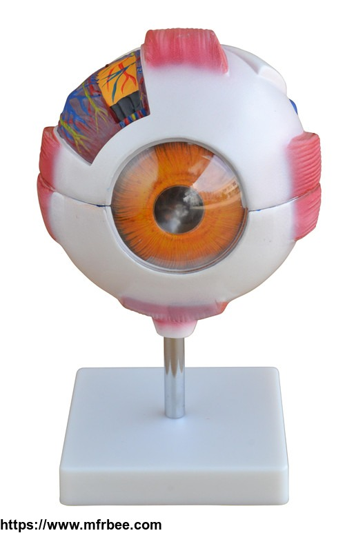 medical_science_giant_eye_model_anatomy_with_6_parts_wholesale