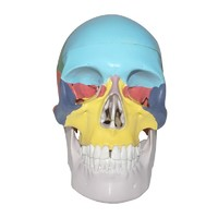 Human Life-Size Structure Skull Model